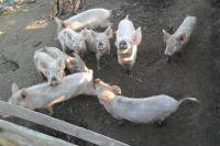 2015-08-Schweinezucht