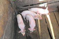 2015-08-Schweinezucht2